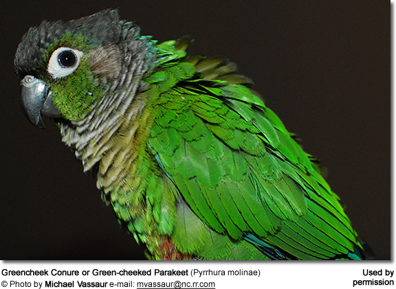Greencheek Conure or Green-cheeked Parakeet (Pyrrhura molinae)