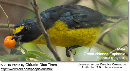 Green-chinned Euphonia