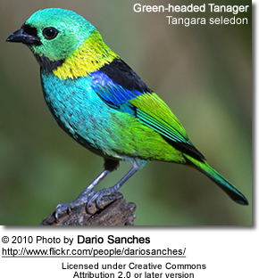 Green-headed Tanager, Tangara seledon
