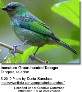 Immature Green-headed Tanager