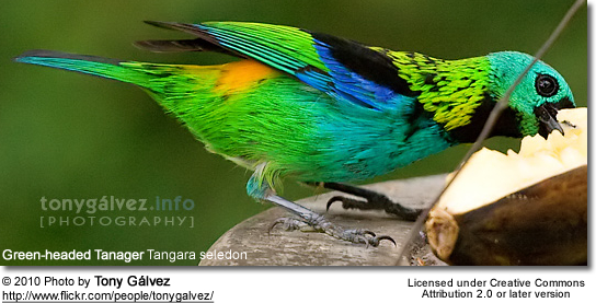 Green-headed Tanager Tangara seledon