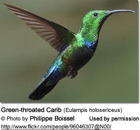 Green-throated Carib (Eulampis holosericeus)