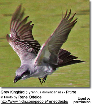 Grey Kingbird, also known as Pitirre, Tyrannus dominicensis
