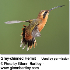 Grey-chinned Hermit (Phaethornis griseogularis)