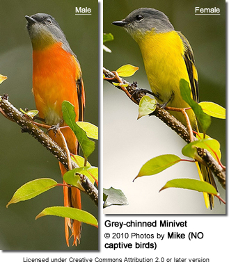 Grey-chinned Minivets