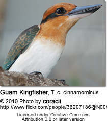 Guam Kingfisher