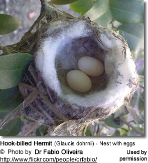 Hook-billed Hermit (Glaucis dohrnii) - Nest with eggs