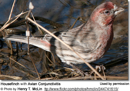 House Finch with Avian Conjunctivitis