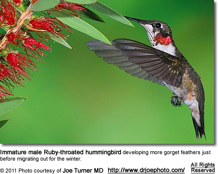 Immature male Ruby-throated hummingbird