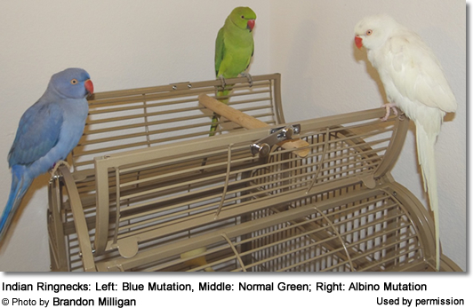 Indian Ringnecks: Blue, Green and White