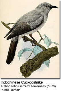 Indochinese Cuckooshrike