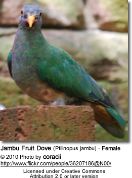 Jambu Fruit Dove (Ptilinopus jambu) - Female