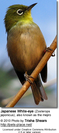 Japanese White-eye (Zosterops japonicus), also known as the mejiro