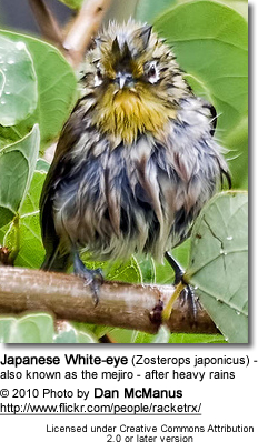 Japanese White-eye (Zosterops japonicus) - also known as the mejiro - after heavy rains