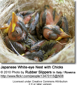 Japanese White-eye Nest with Chicks