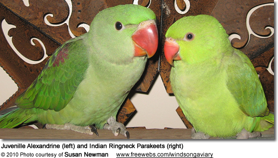 Juvenille Alexandrine (left) and Ringneck Parakeets (right)