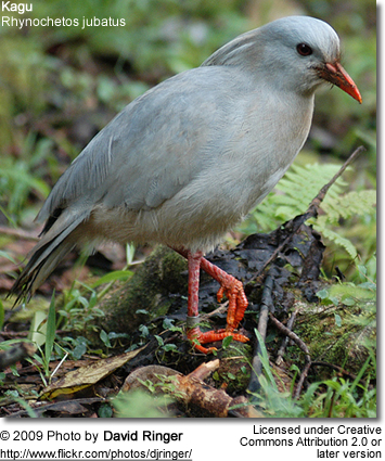 Kagu foraging for food