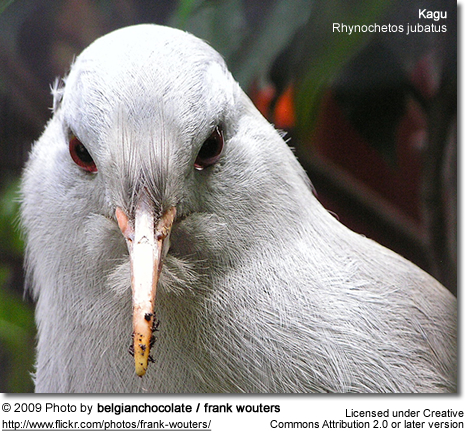 Kagu Head Detail
