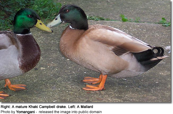Right: A mature Khaki Campbell drake. Left: A Mallard