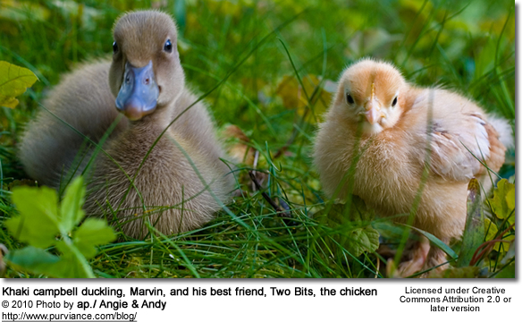 Khaki campbell duckling, Marvin, and his best friend, Two Bits, the chicken