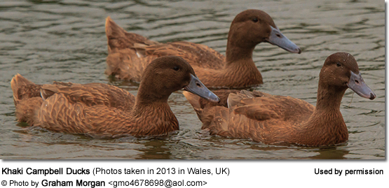 Khaki Campbell Ducks (Photos taken in 2013 in Wales, UK)