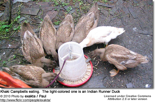 Khaki Campbells eating. The light-colored one is an Indian Runner Duck
