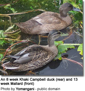 An 8 week Khaki Campbell duck (rear) and 13 week Mallard (front)