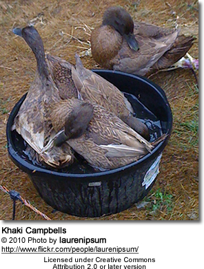 Khaki Campbell Ducks taking a bath