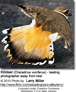 Killdeer (Charadrius vociferus) - leading