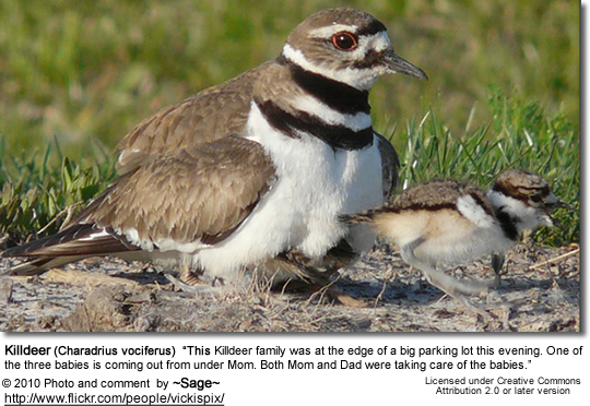Killdeer (Charadrius vociferus) - Mom with 3 chicks