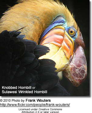 Knobbed Hornbill, Aceros cassidix, also known as Sulawesi Wrinkled Hornbill