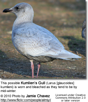 This possible Kumlien'sGull (Larus [glaucoides] kumlieni) is worn and bleached as they tend to be bymid-winter.