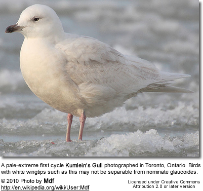 A pale-extreme first cycle Kumlein's Gullphotographed in Toronto, Ontario. Birds with white wingtips such as this may notbe separable from nominate glaucoides
