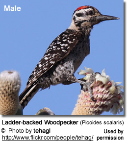 Ladder-backed Woodpecker (Picoides