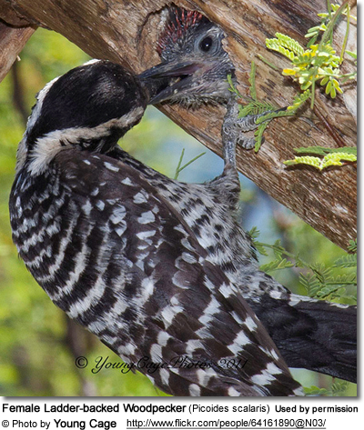 Female Ladder-backed