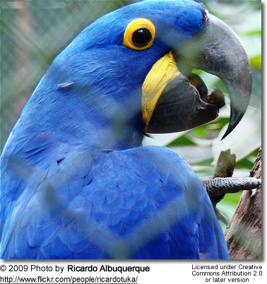 Lear's Macaw