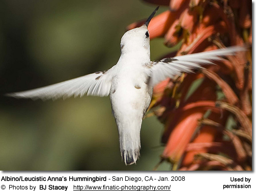 Partial Albino Hummingbird