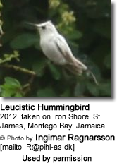 Leucistic Hummingbird in Jamaica