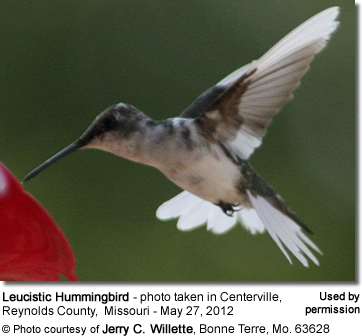 Leucistic Hummingbird - photo taken in Centerville, Reynolds County, Missouri - May 27,2012