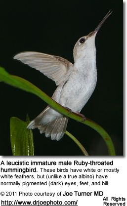 Leucistic Immnature Male Ruby-throated Hummingbird'