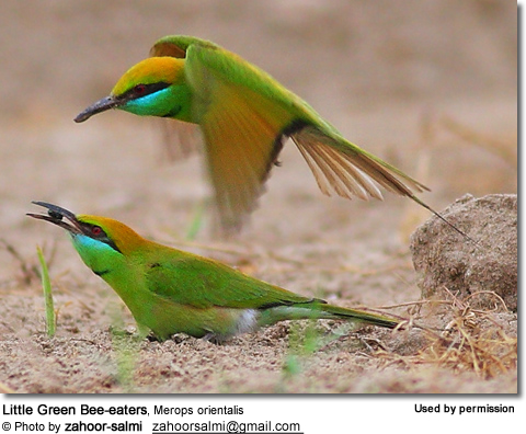 Little Green Bee-eaters, Merops orientalis