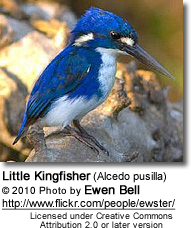 Little Kingfisher (Alcedo pusilla)