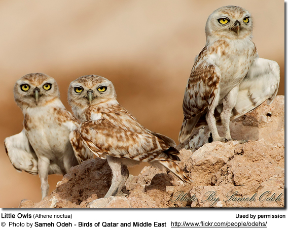 Little Owls (Athene noctua)