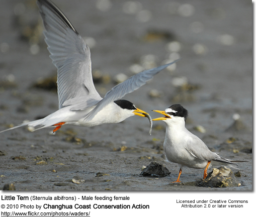 Little Tern (Sternula albifrons) - Male feeding female