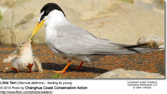 Little Tern (Sternula albifrons) - feeding its young