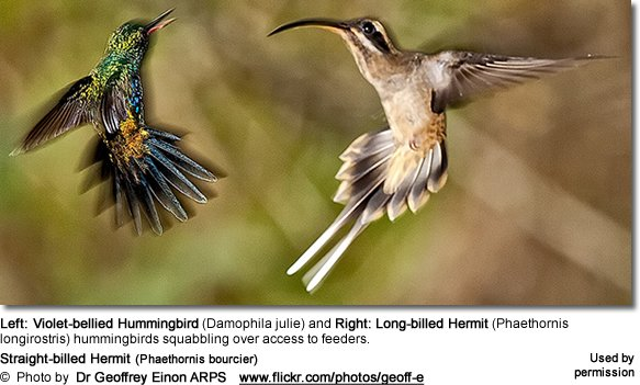 Long-billed Hermit (Phaethornis longirostris)