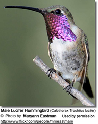 Lucifer Hummingbird, Calothorax lucifer