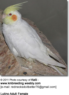 Adult Female Lutino Cockatiel