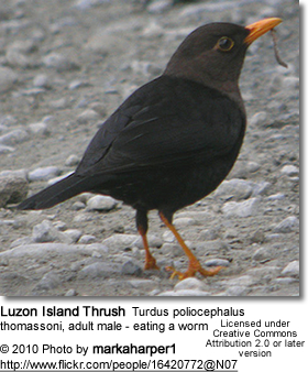 Luzon Island Thrush Turdus poliocephalus thomassoni, adult male - eating a worm