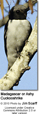 Madagascar Cuckooshrike (Coracina cinerea), also known as the Ashy Cuckooshrike